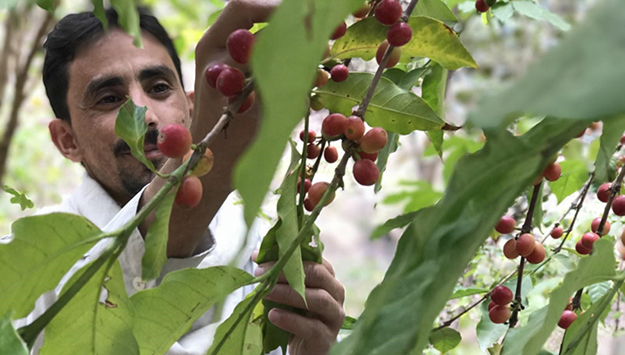 Revitalized coffee economy provides Yemen a boost amid conflict
